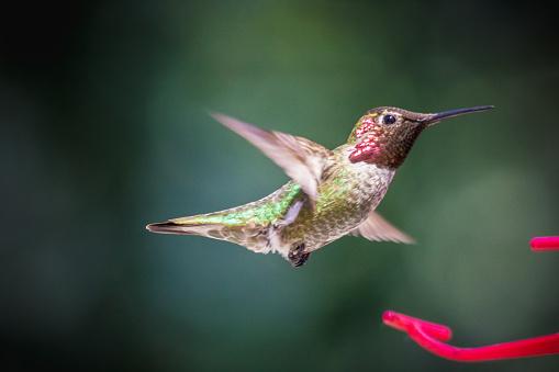 안나벌새 0명에 대한 스톡 사진 및 기타 이미지