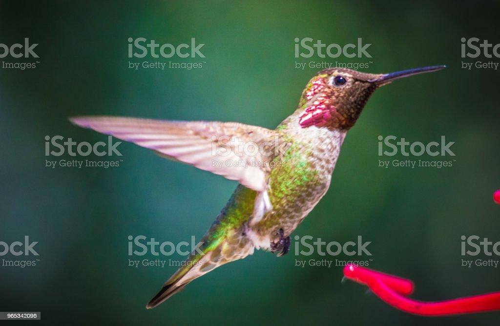 安娜的蜂鳥 - 免版稅加拿大圖庫照片