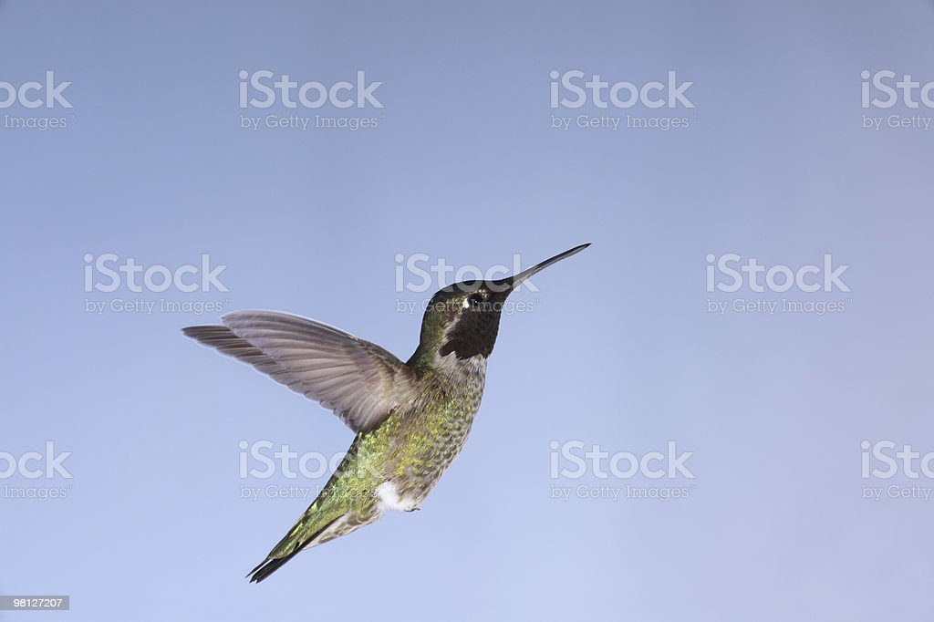 Anna's Hummingbird royalty-free stock photo