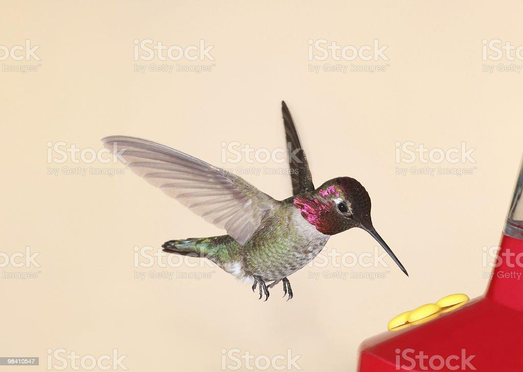 Anna's Hummingbird royalty-free stock photo