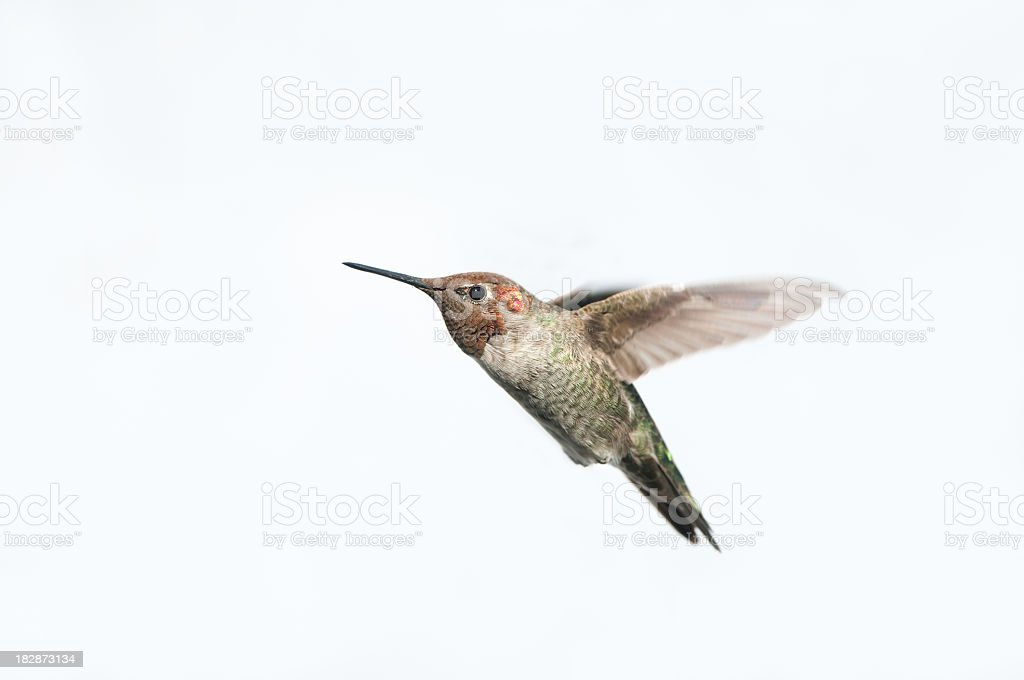 Anna's Hummingbird - White Background Isolated stock photo