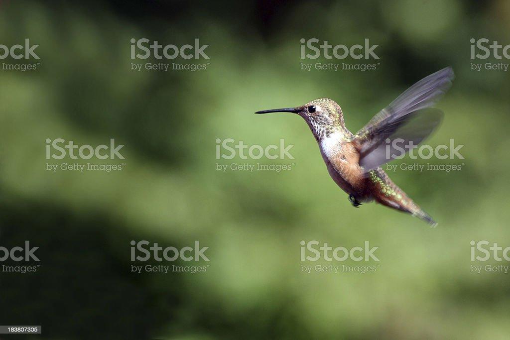 Annas Hummingbirds Flight stock photo