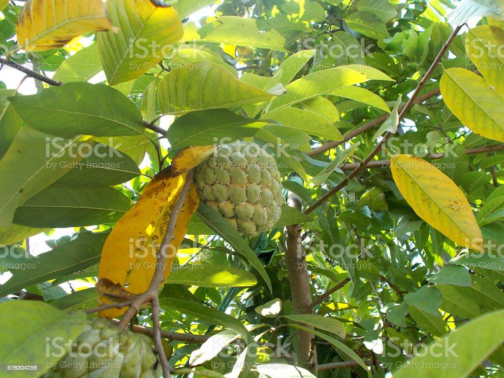 Annona fruit on the tree stock photo