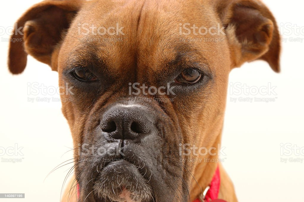 Annoyed Boxer #2 royalty-free stock photo