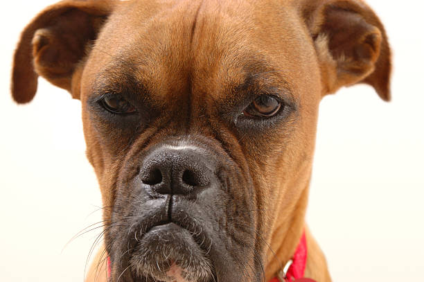 Annoyed Boxer #2 stock photo