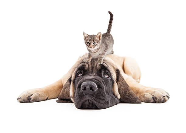 Annoyed mastiff puupy with kitten on head picture id513582726?b=1&k=6&m=513582726&s=612x612&w=0&h= 7wu2nfdhc3qt84 ndbt65hcbsn2levwt0n6bfggdfa=