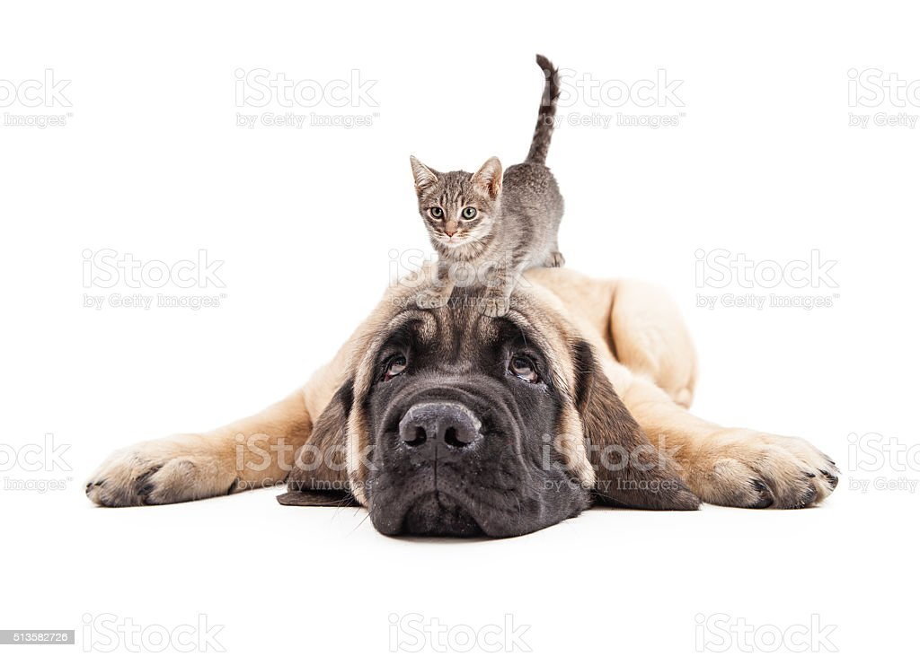 Annoyed Mastiff Puupy With Kitten on Head stock photo