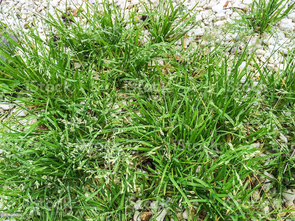 Annual meadow grass or blue grass royalty-free stock photo