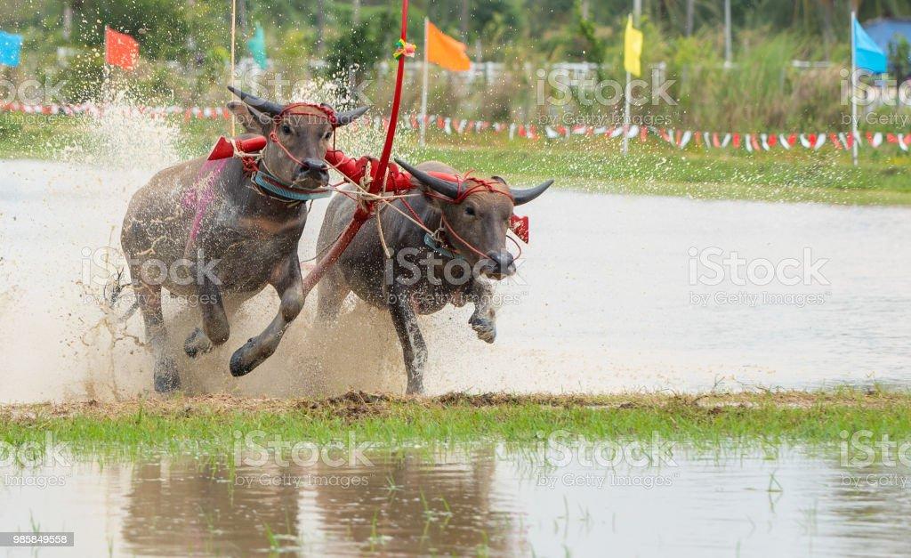 Annual Thai traditional buffalo racing in Chonburi province