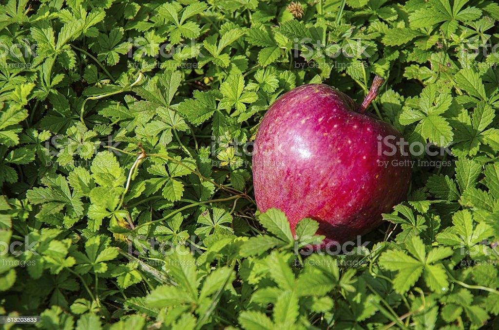 Annurca s apple nel prato - foto stock