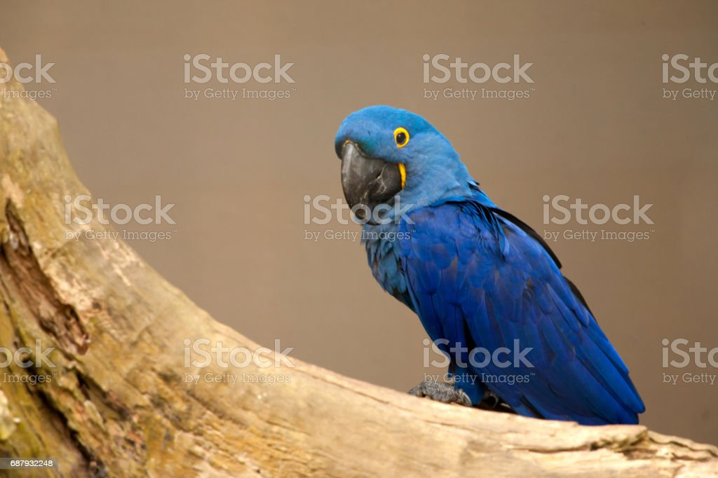 Anodorhynchus leari - Lears macaw royalty-free stock photo