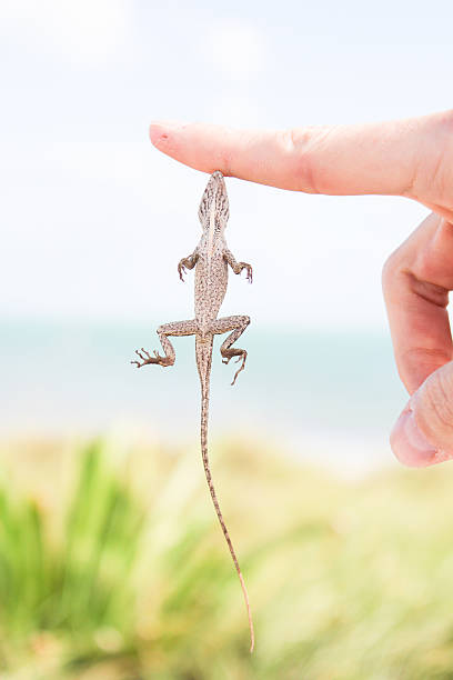 Anole Lizard Hanging from Finger stock photo
