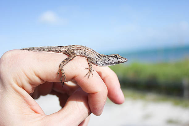 Anole Lizard Resting on Hand stock photo