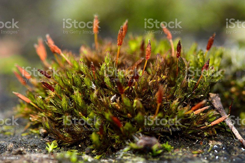 Anomalous bristle-moss (Orthotrichum anomalum) stock photo