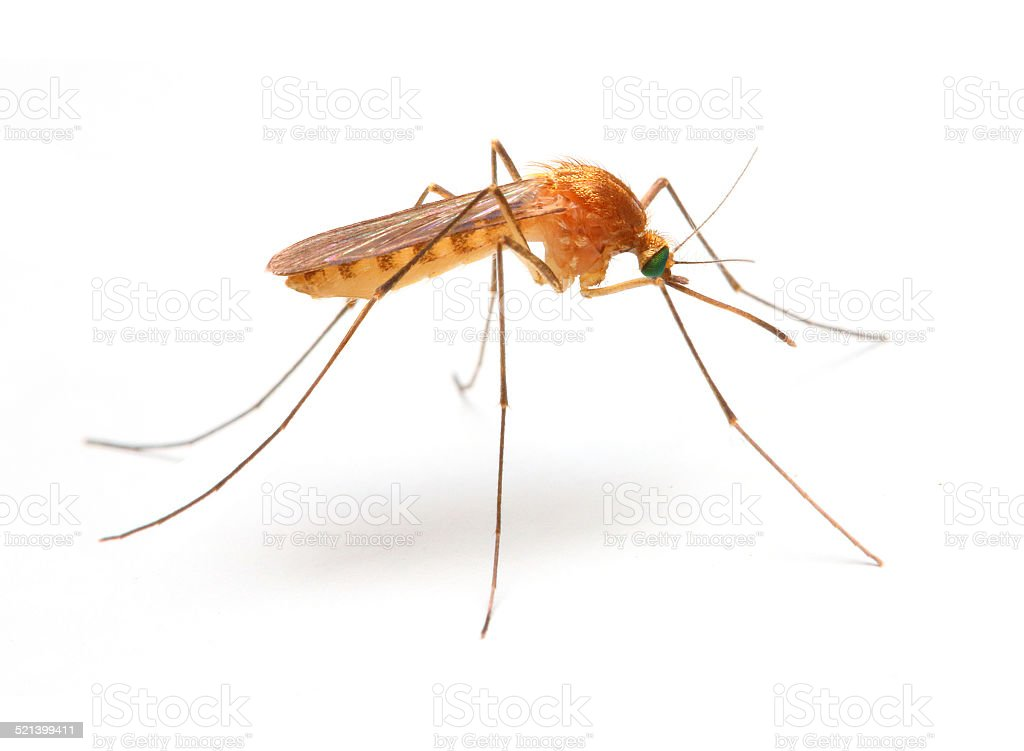 Anopheles mosquito. stock photo