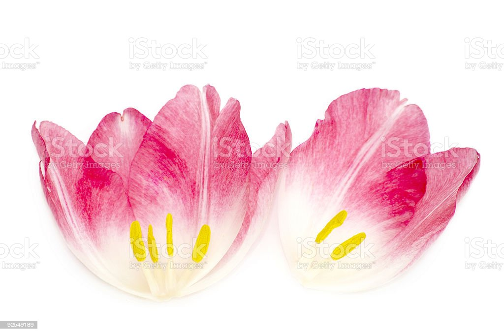 Another Face of a Tulip royalty-free stock photo