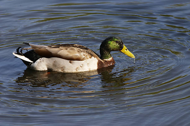 mallard drake swimming - whiteway stock photos and pictures