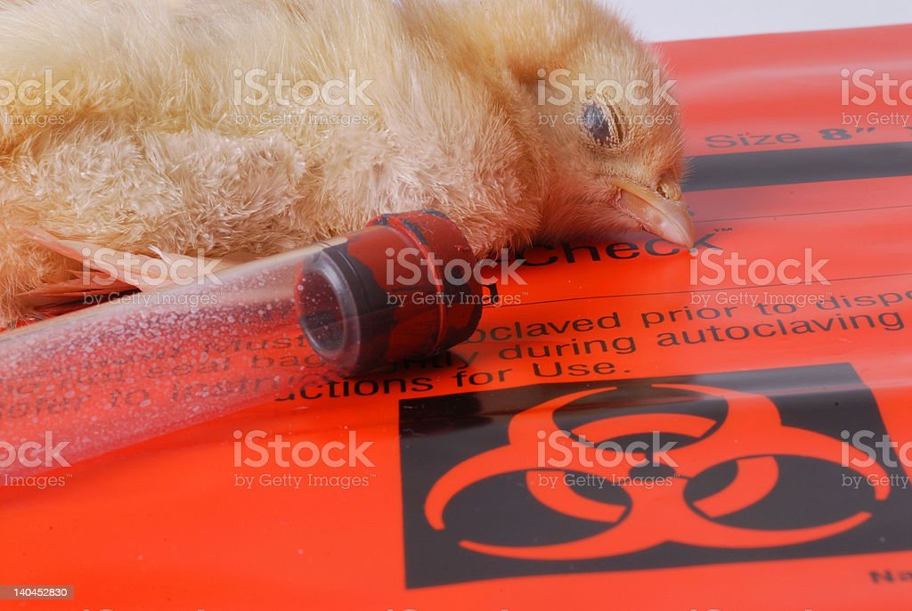 Another Victim of Bird Flu royalty-free stock photo