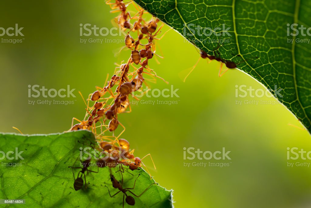 Ant action standing.Ant bridge unity team stock photo
