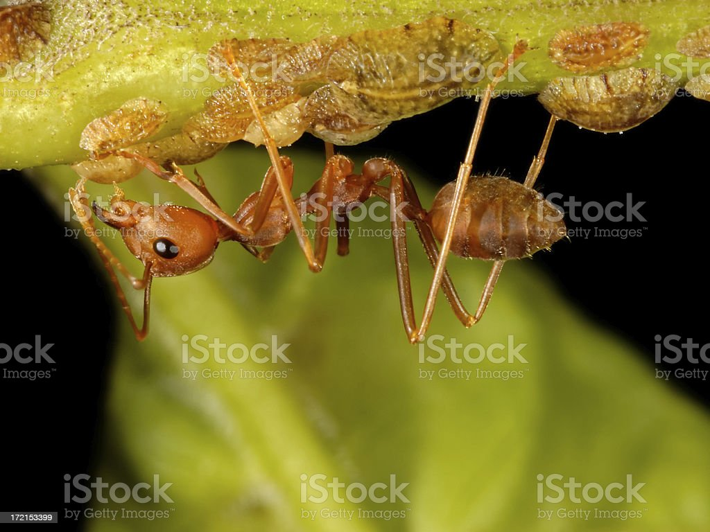Ant and Aphids or Scale Insects stock photo
