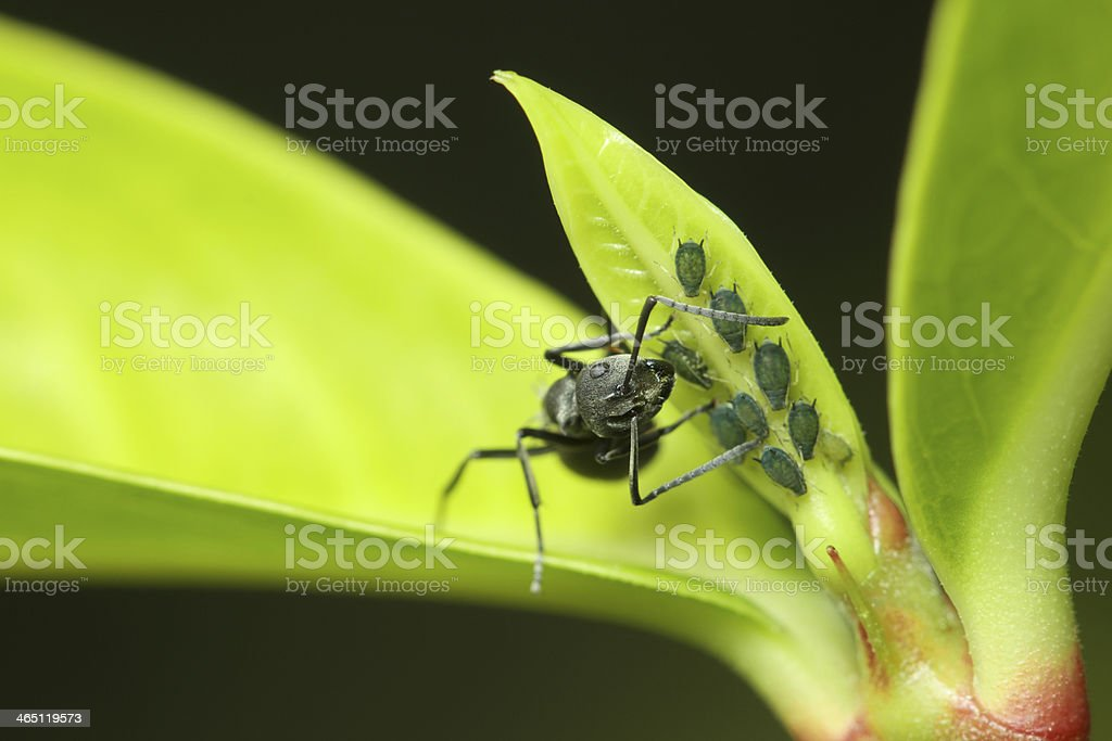 ant and aphids stock photo