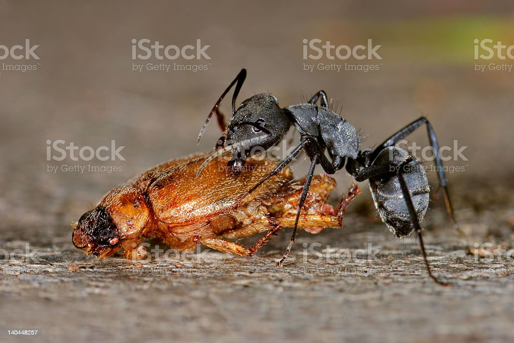Ant and beetle royalty-free stock photo