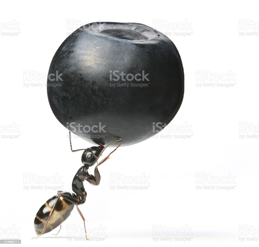 ant and berry royalty-free stock photo