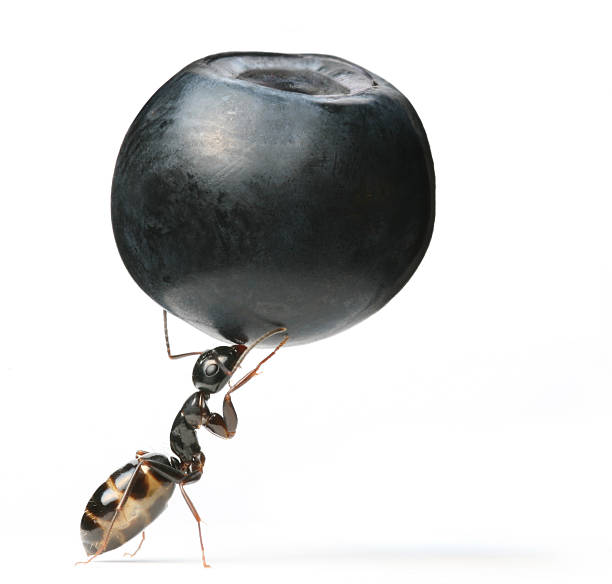 ant and berry Similar images: ant stock pictures, royalty-free photos & images