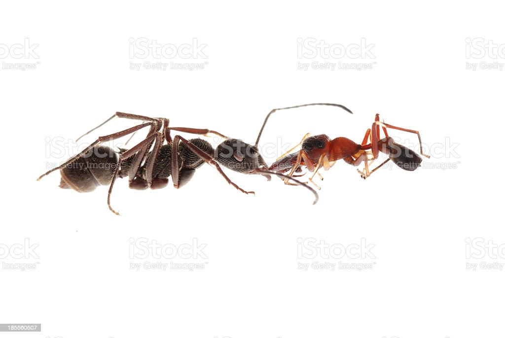 ant and mimic spider royalty-free stock photo