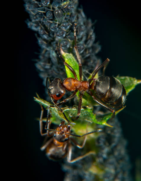 Ant and plant lice ant hearding aphids formic acid stock pictures, royalty-free photos & images