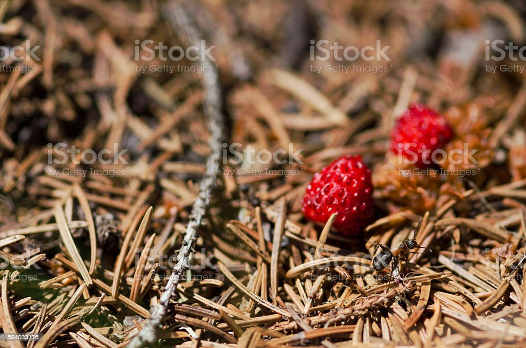 Ant and two wild strawberries stock photo
