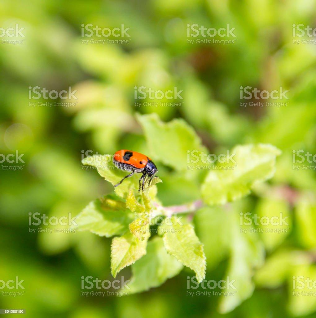 ant bag beetle stock photo