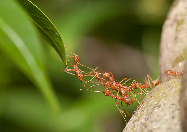Royalty Free Ants Teamwork Pictures, Images and Stock ...