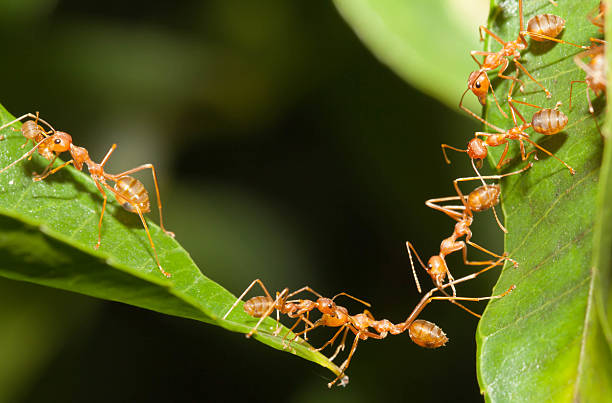 ant bridge unity - ants working together stock photos and pictures