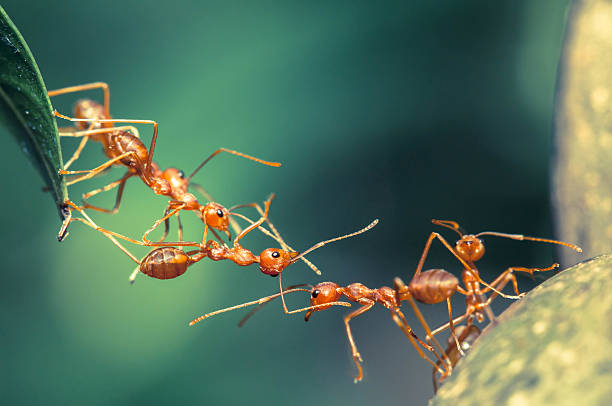 Ant bridge unity Ant bridge unity ant stock pictures, royalty-free photos & images
