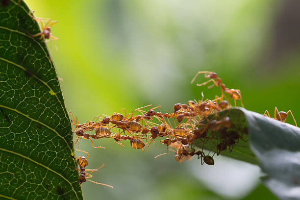 Ant bridge unity team Ant bridge unity team ant stock pictures, royalty-free photos & images