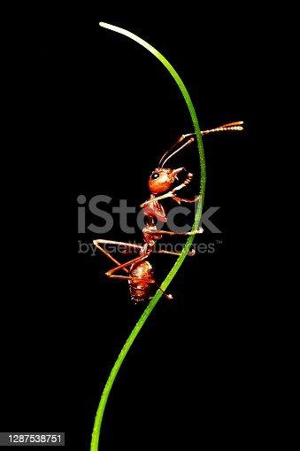 Ant climbing branch and hand of vine - animal behavior.