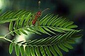 Ant climbing green Acacia leaf.