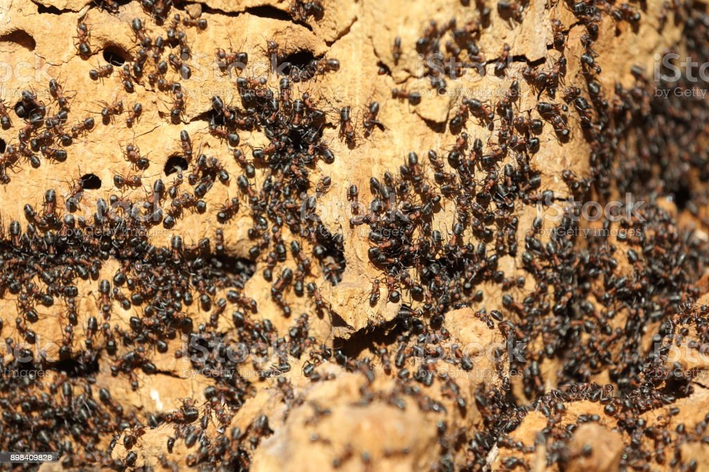 Ant colony on an old tree close up stock photo