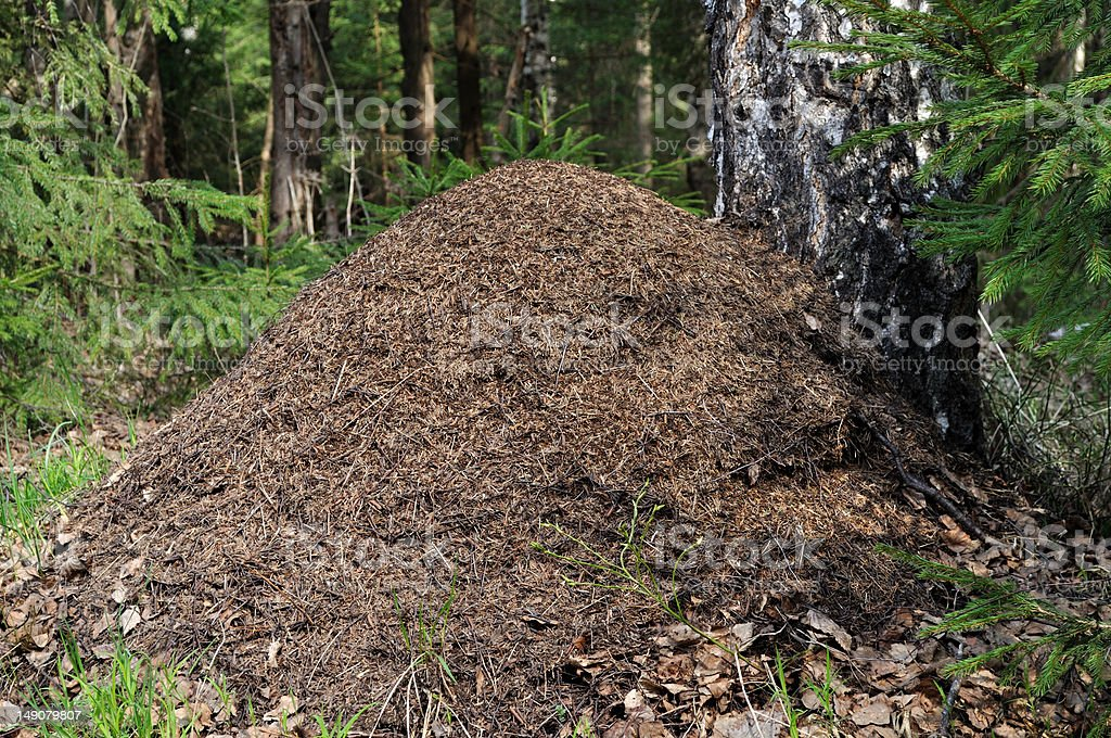 Ant hill at birch tree stock photo