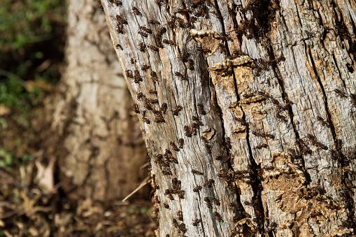 Ant Hill on Tree Trunk - Hormiguero en Tronco de Arbol