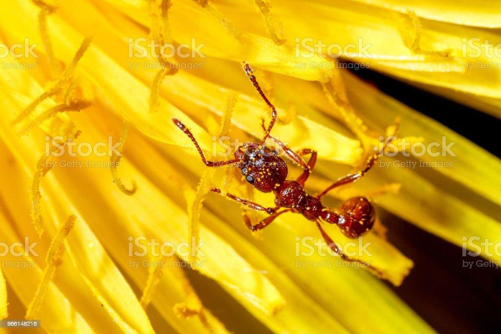 Formica in un fiore. - Foto stock royalty-free di Ambiente
