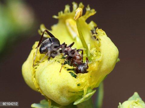 485413653istockphoto Ant in yellow flower 92104212