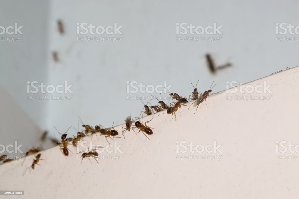 Ant invasion in Tropical North Queensland stock photo
