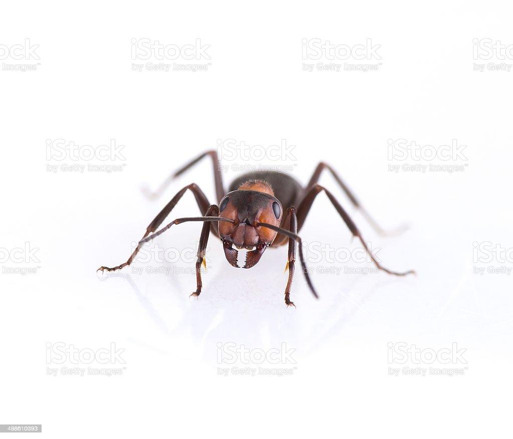 ant isolated on white background. stock photo