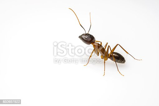 istock ant isolated on white background 832657522