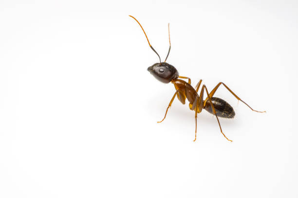 ant isolated on white background close up ant isolated on white background and copy space for text ant stock pictures, royalty-free photos & images