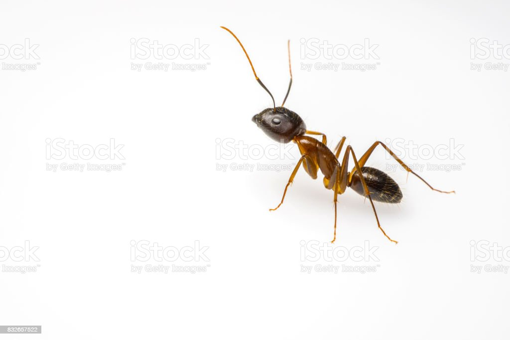 ant isolated on white background stock photo