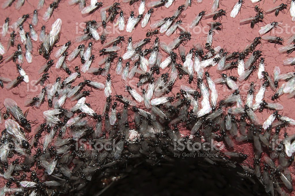 Ant nest during swarming stock photo