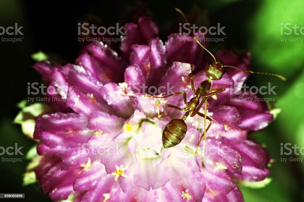 Ant on Amaranth flower. stock photo